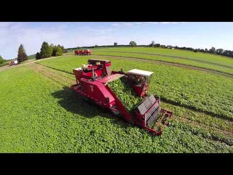 TVF Farms Cucumber Harvest 2015