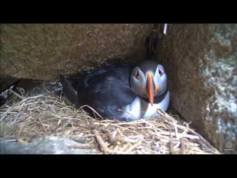 Atlantic Puffins incubate their egg  May 22, 2017