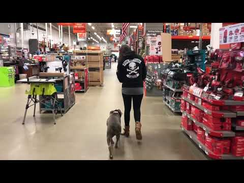 Pit Bull, Layla   Off Leash Pit Bull Dog Training   Off Leash K9 Training