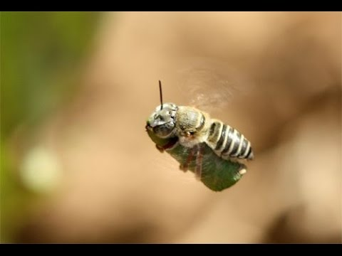 Slow-Mo Leafcutter Bee - Carrying a leaf!