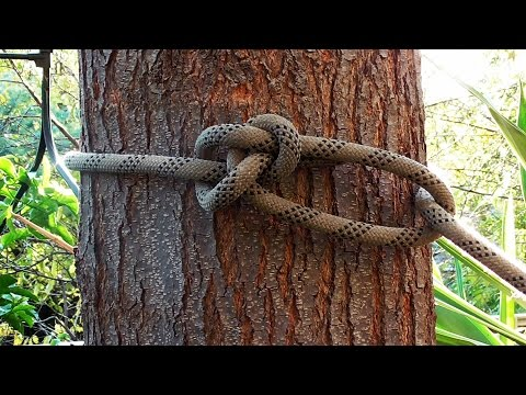 Arborist Knots - How To Tie The Running Bowline Knot