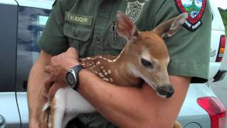 Deer Fawn Rescue