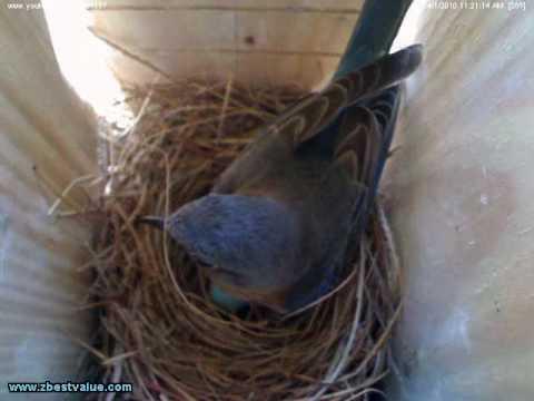 Bluebirds - Day 17 - Nest Building First Egg!!