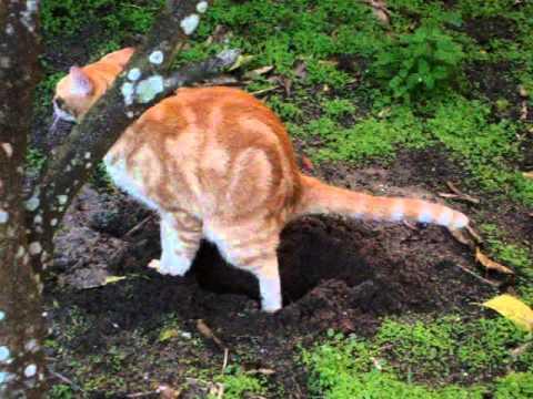 CAT'er Pilar - My cat digging a hole, a pee hole? poop hole? :P