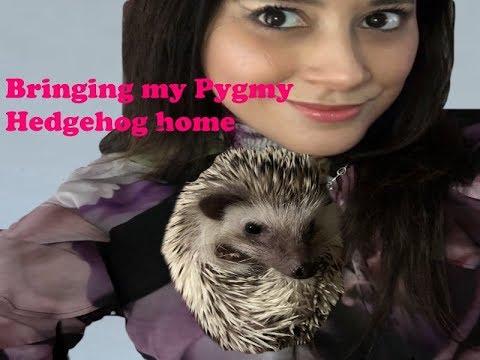 BRINGING MY PYGMY HEDGEHOG HOME