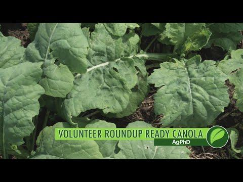 Weed of the Week #1045 Volunteer Roundup Ready Canola (Air Date 4-15-18)