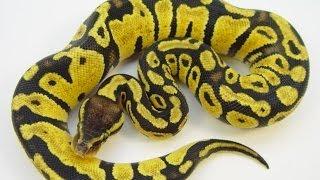 Is The Ball Python A Good First Pet Snake