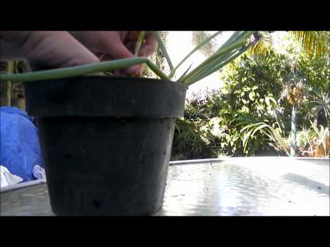 Planting green onions (VEDA 15)
