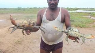 Huge Mud Crabs Cautch By The South-East Indian Cooked  With Their Culture