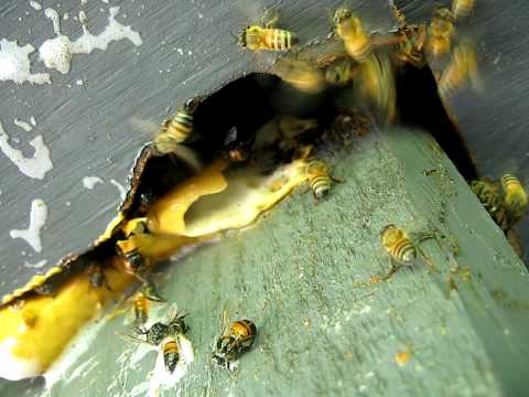 Africanized Honey Bees in Geneva,Fla (Seminole County)