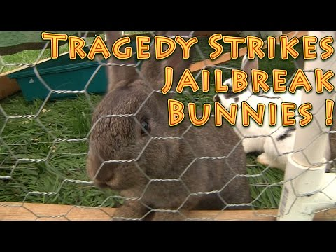 Tragedy Strikes Jailbreak Bunnies Escape the Rabbit and Chicken Tractor