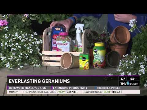 Everlasting Geraniums
