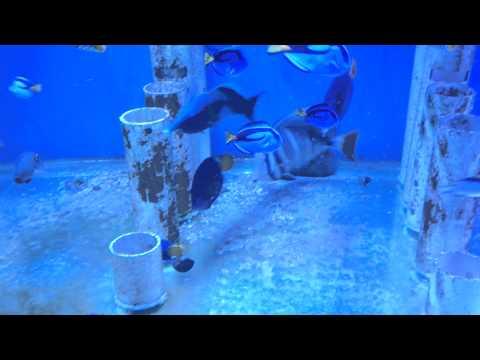 Feeding live brine shrimp to a tank of marine fish and Seahorse