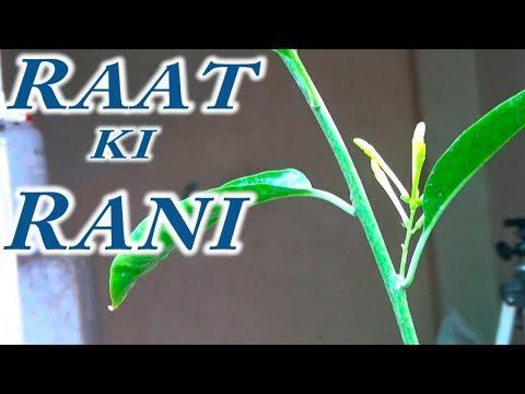 Raat Ki Rani Tips & Care | Summer Season Flowering Time