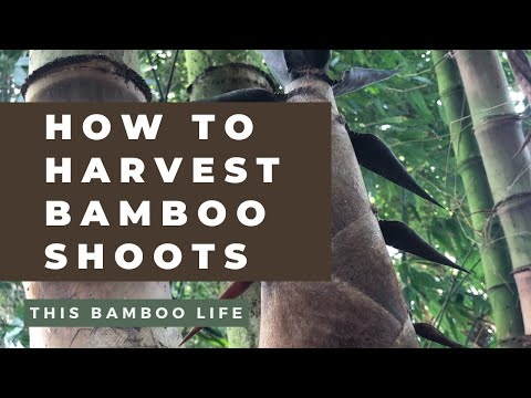 How to harvest bamboo shoots