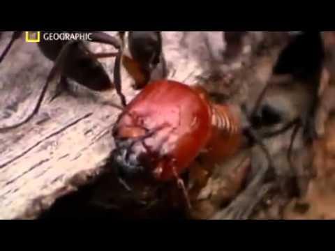 War  Ants vs Termites