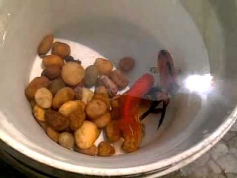gold fish breeding and laying eggs in my tank