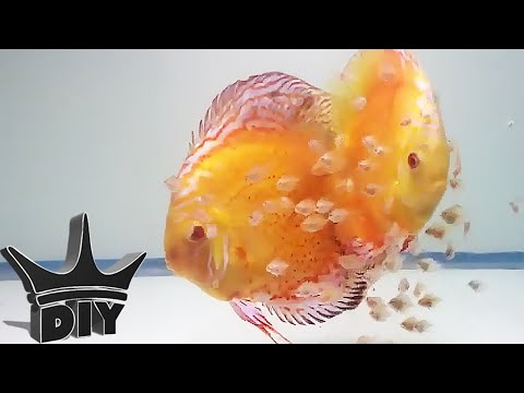 HOW TO: Breed Discus fish