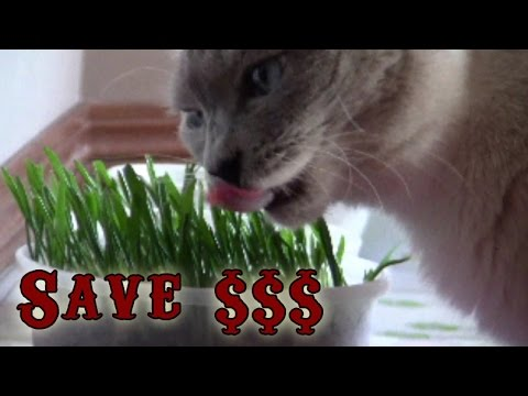 How to Grow Cat Grass from Wheat and Oat Feed – Easy and Cheap - Time lapse