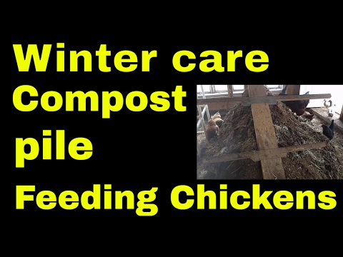 Feeding Chickens and Ducks in winter on their own compost pile created in the coop, Zero watse