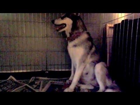 65 / 63 Day Pregnant Siberian Husky in Labour!