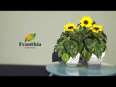 Evanthia Seeds & Plants - Helianthus Sunsation®