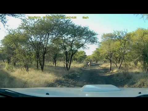 Stupide impala