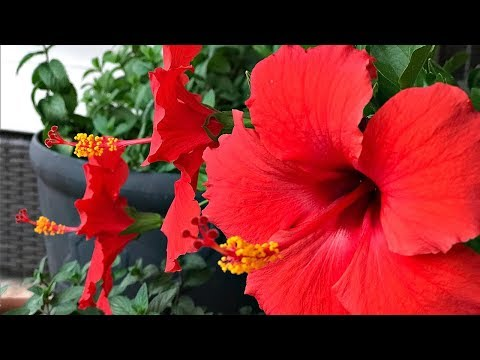 FOUR TIPS ON HIBISCUS TREE CARE - MY PERSONAL EXPERIENCE - SIMPLE