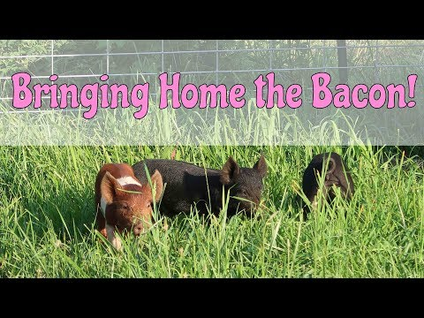 Bringing Piglets to the Homestead!