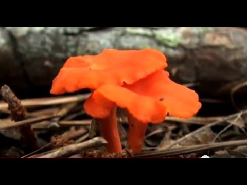 Collecting Wild Edible Mushrooms (HD)