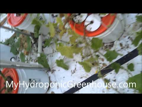 Treating Fungus on Our Cucumber and Melon Plants (Hydroponic & Aquaponic)
