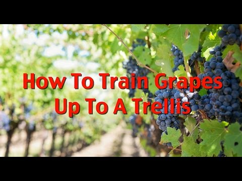 How To Train First Year Grape Vines Pt.1: Up To Your Trellis