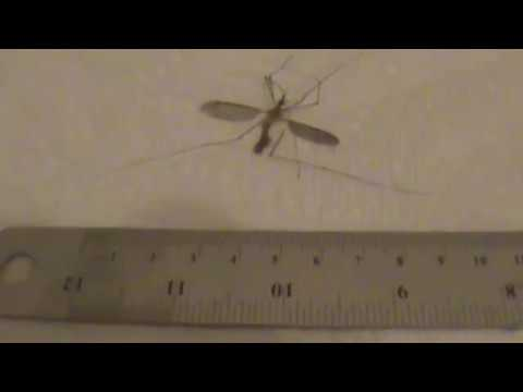 Quiz - Subject : Etymology : What Kind Of Mosquito Is This ?