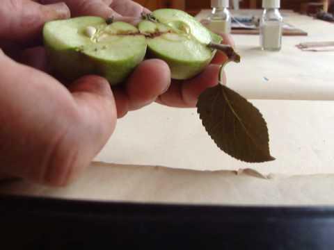 Codling moth apple maggot