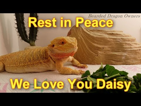 Bearded Dragon Owners // Rest in Peace Daisy.