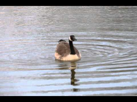 Canada Goose calling out for his mate at Ingrebourne Valley on 21st April 2013
