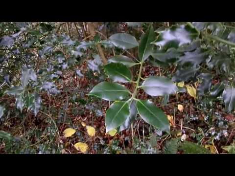 Nature Insights - A Male Holly (Ilex aquifolium) Tree