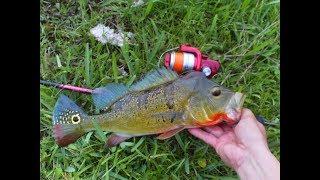 My little Topwater ( Peacock Bass )