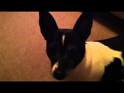 Puppy Has Bieber Fever