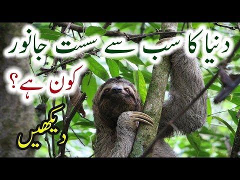 Sloth Animal Facts Urdu Sloth World's Slowest Animal Hindi