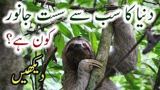 Sloth Animal Facts Urdu Sloth World