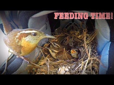 Mother Bird Feeding Her Babies