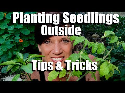 How to to Plant Vegetable Seedlings in the Garden - Tips and Tricks  // Spring Garden Series #10