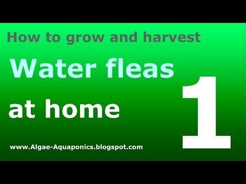 How to grow water fleas (daphnia) 1