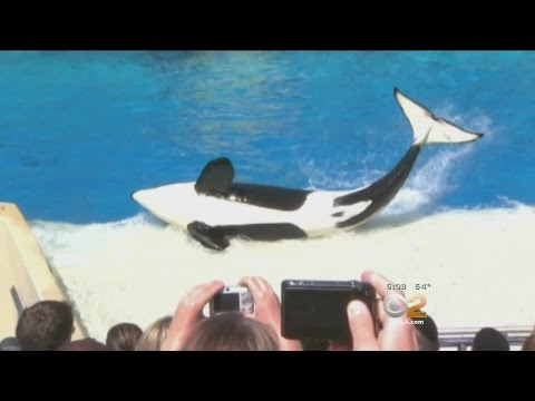 Congressman From Burbank To Introduce Bill To End Captivity of Killer Whales