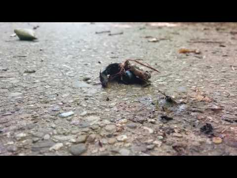 Dung Beetle and Fly