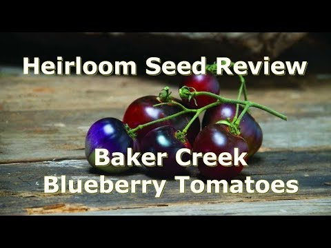 Heirloom Seed Review: Blueberry Tomatoes from Baker Creek