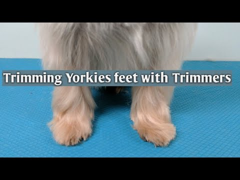 How to Trim Yorkies Feet with Trimmers