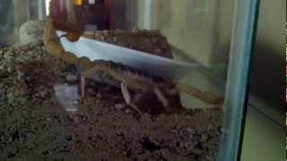 Download Giant desert hairy scorpion burrowing Video