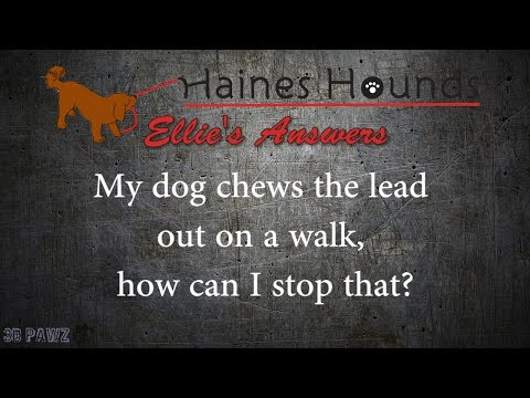 How to stop a dog chewing their lead on a walk?